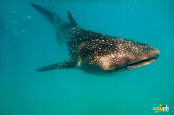 Oslob Cebu whale Shark
