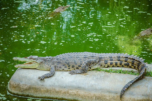 davao crocodile photo