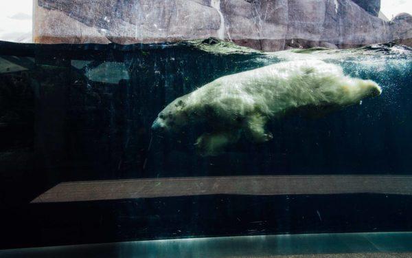 polar bear Copenhagen Zoo